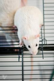 rats-10