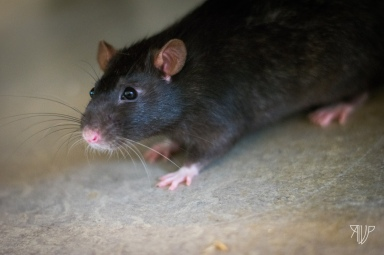 rats-15