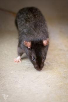 rats-2