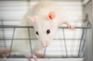 rats-30