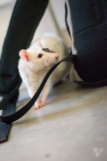 rats-34