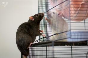rats-36